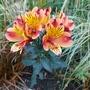 Alstroemeria aurea (Peruvian lily)