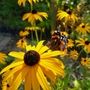 Red Admiral on Rudbeckia...