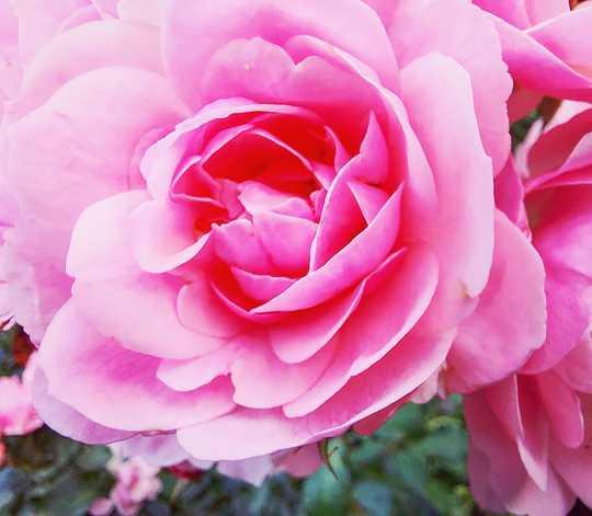 Pink Rose.....