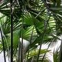 Trachycarpus fortunei...