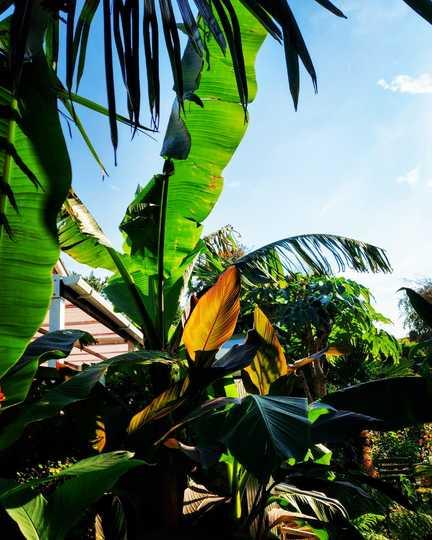 Bananas and Cannas... (Musa basjoo (Japanese banana))