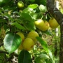Japanese apple-pear