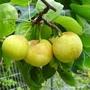 Japanese apple-pear detail