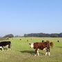 Cattle in the fields today