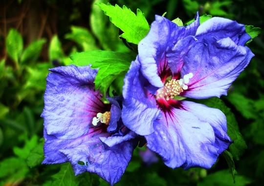 Hibiscus syriacus 'Bluebird'  (Hibiscus syriacus 'Bluebird')