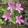 Erodium manescavii (Erodium manescavii)