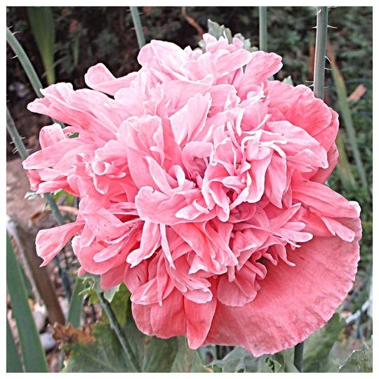 Double Poppy (Papaver)
