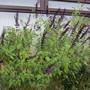 Salvia Amistad (Salvia)