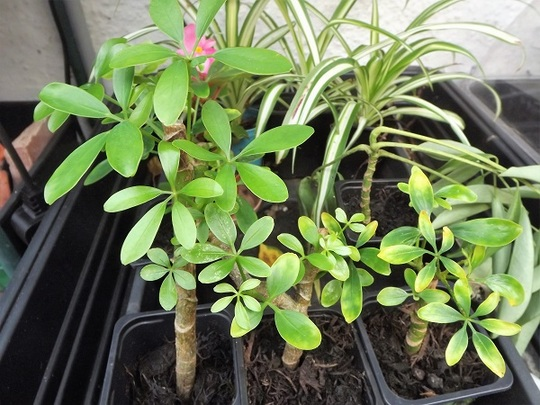 Schefflera cuttings
