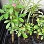 Schefflera cuttings