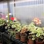 Pelargonium cuttings