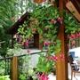 Fuchsia_phylis