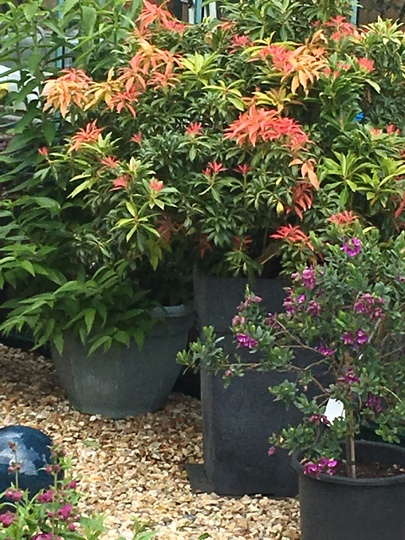 Pieris Forest Flame.