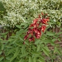 Erythrina crista-galli - 2020 (Erythrina crista-galli)