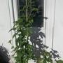 Passiflora edulis (for Jake)