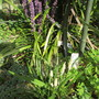 Little and Large Liriope (Liriope muscari (Lilyturf))