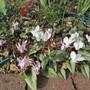Cyclamen hederifolium (Cyclamen hederifolium (Hardy cyclamen))