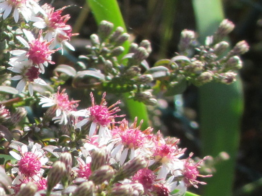 Flowers of Aster 'Prince' (Aster lateriflorus)
