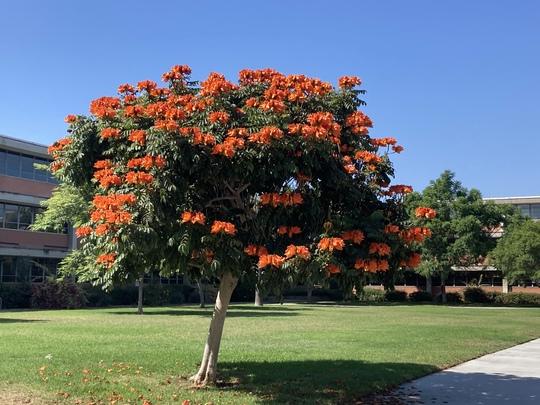 Spathodea campanulata - African Tulip Tree