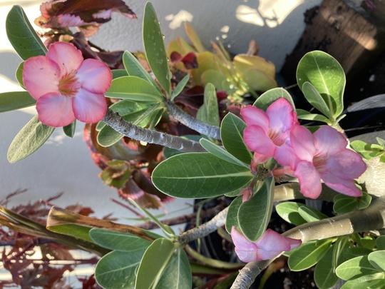 Adenium arabicum - Desert Rose