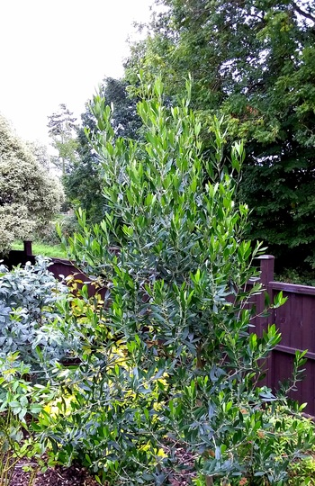 Growth over the last two years of the Olive tree.