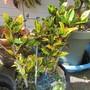 Marginal of Marginals.. (Codiaeum variegatum)