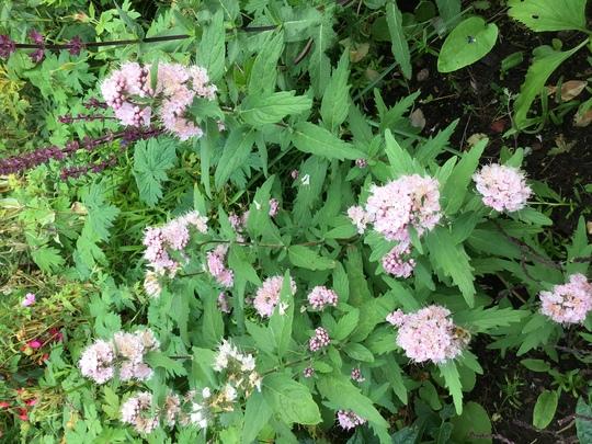 Caryopteris 'Pink Perfection' (Caryopteris x clandonensis (Caryopteris))