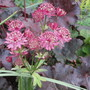 Astrantia Primadonna (Astrantia major (Masterwort))