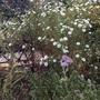 My favourite aster. Symphyotrichum 'Oktoberlicht'.
