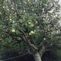 Bramley apple tree.
