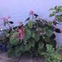 Hardy Begonia (Begonia)