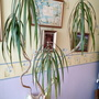 Dragon tree in bedroom (decapitated) 14th April 2020 002 (Dracaena marginata)