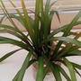 Dragon Tree cuttings in kitchen 26th April 2020 (Dracaena marginata)