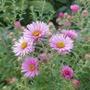 Aster novae-angliae 'Rudelsburg' - 2020 (Aster novae-angliae)