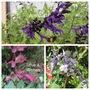 More Salvias (Salvia)