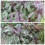 Yet More Salvias (Salvia officinalis (Common sage))