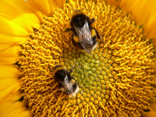 Busy Bees on Sunflower