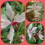 Gaura varieties...all new this year..