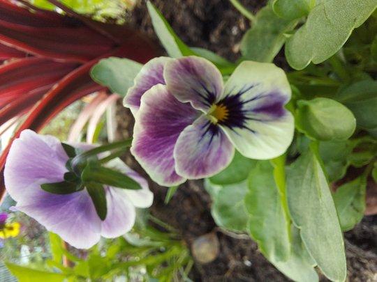 Viola and pink Phormium..