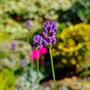 Lavender love. (Lavandula angustifolia (Lavender))