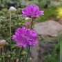 Armeria- sea thrift