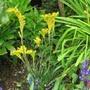 Anigozanthos/Kangaroo paw plant