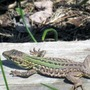 A lizard that shouldn't be but is