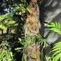 Orchids on backyard palm.