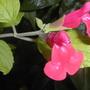 Salvia microphylla 'Newby Hall'