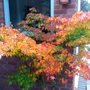 Acer ' Orange Dream'