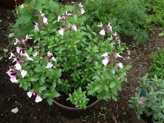 Salvia greggii Mirage, Soft Pink