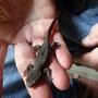 Rough-skinned  newt