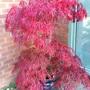 Acer palmatum dissectum.