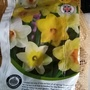 Narcissi bought for white troughs on balcony 28th September 2020 (Daffodil)